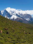 Guanacos graze and rest on a hillside overlooking Torres del Paine National Park, Chile.