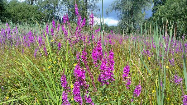 Nederland, Ubbergen, 6-8-2012In een gebied met veel poelen en drassioge ondergrond, terrein, van het geldersch landschap bloeien diverse soorten veldbloemen.