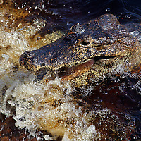 South America, Brazil, Pantanal. Caiman resting with open jaws as the river flows by, waiting for a fish to tumbling into it's mouth.