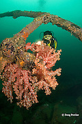 diver examines soft corals, Dendronephthya sp., growing<br /> on the wreck of the San Quentin or San Quintin, a Spanish gunboat sunk in 1898 during the Spanish-American War between Grande and Chiquita Islands at the entrance to Subic Bay, Philippines; wreckage is scattered over a reef at a depth of 9-18 m; MR 379