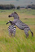 Zebras playing in the Ngorongoro Crater, Tanzania