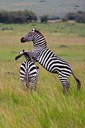 Zebras playing in the Ngorongoro Crater, Tanzania