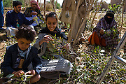 The family of Abdul Azziz's brother picks qat outside Sanaa, Yemen. Although qat chewing isn't as severe a health hazard as smoking tobacco, it has drastic social, economic, and environmental consequences. When chewed, the leaves release a mild stimulant related to amphetamines. Qat is chewed several times a week by a large percentage of the population: 90 percent of Yemen's men and 25 percent of its women. Because growing qat is 10 to 20 times more profitable than other crops, scarce groundwater is being depleted to irrigate it, to the detriment of food crops and agricultural exports.