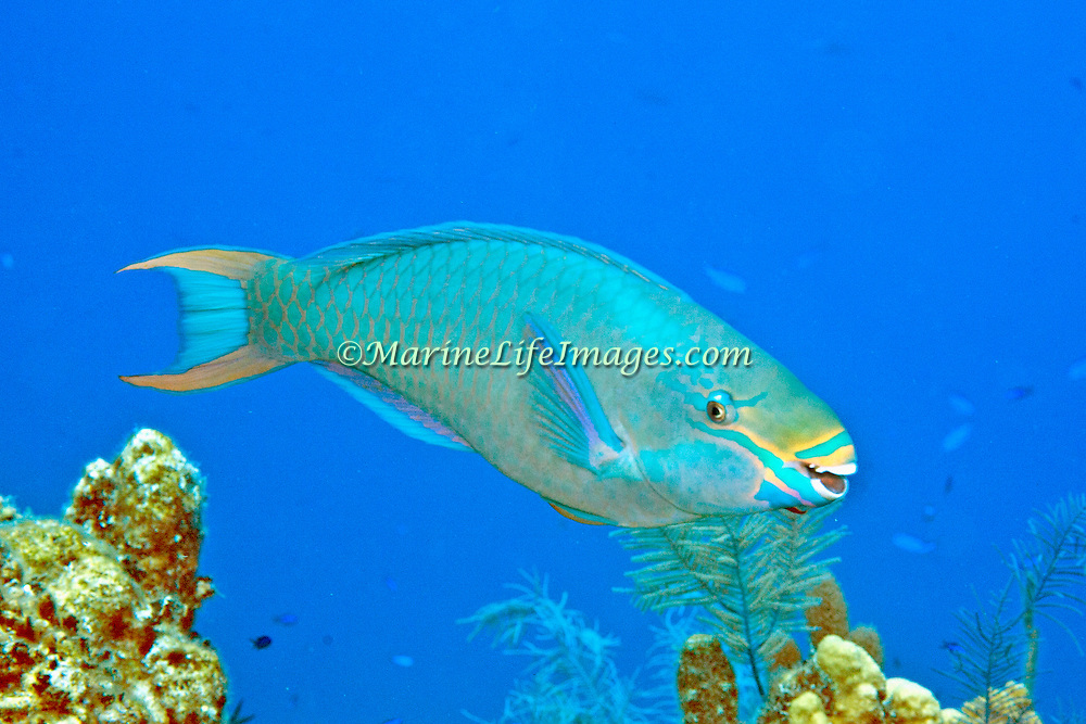 Queen Parrotfish swim about reefs and adjacent areas scrapping filamenmtous algae from hard substrates in  Tropical West Atlantic; picture taken Grand Turk.