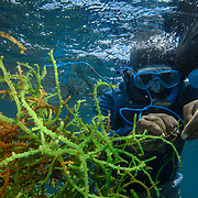 Seaweed farming; diver harvesting seaweed cultured on lines near the surface; Fast growing algae (Kappaphycus cottonii) is harvested for food and also for its carrageenan compounds;  Taglibas; Danajon Bank, Bohol, Philippines © Michael Ready / iLCP