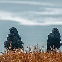 A pair of ravens (Corvus corax) preens while perching on a cliff above the Pacific Ocean near Moss  Beach, California.