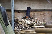 Nederland, Ubbergen, 22-3-2014Een merel zit te broeden op haar nest bij ons in de tuin.Foto: Flip Franssen/Hollandse Hoogte