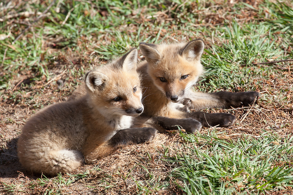 A pair of red fox kits bask in the sun.