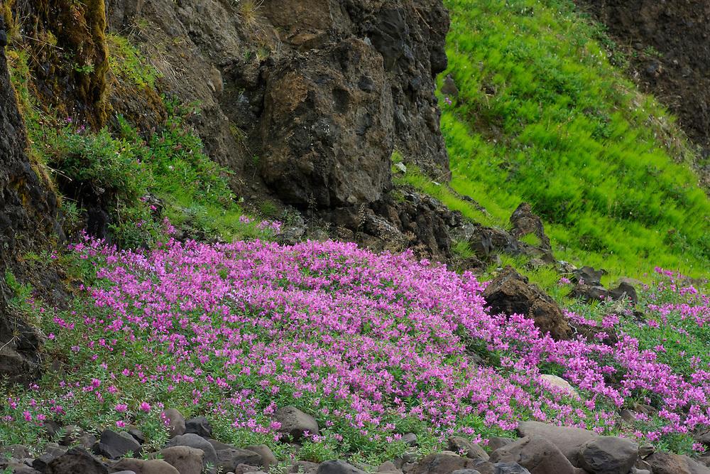 qeqertarsuaq; diskobay; Greenland; Niviarsiag; Rosebay willow herb; Broad-leaf willow; Epilobium latifolium