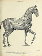 Principle Layers of Muscles of a Horse Copperplate engraving From the Encyclopaedia Londinensis or, Universal dictionary of arts, sciences, and literature; Volume VII;  Edited by Wilkes, John. Published in London in 1810
