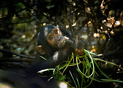 Chimps at Gombe National Park on Lake Tanganyika in Tanzania August 27, 2011. (Photo by Ami vitale)