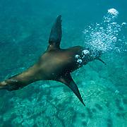 Galapagos sea lion (Zalophus californianus) swims while blowing bubbles. Galapagos, Ecuador