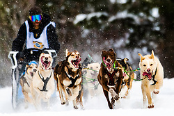 Happy Sled dog team competing in the Pedigree Stage Stop Race in Alpine Wyoming.