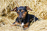 Black and tan Jack Russell puppy lying in a bed of hay, England, United Kingdom
