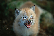 Eurasian Lynx, Lynx lynx, kitten, captive, Langedrag, Norway
