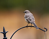 Northern Mockingbird. Image taken with a Nikon D850 camera and 400 mm f/2.8 lens.