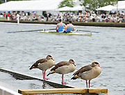 Henley, GREAT BRITAIN, Ducks watch the racing at  .  2010 Henley Royal Regatta. 11:23:59, Thursday  01/07/2010 [Mandatory Credit: Peter Spurrier / Intersport-images] Rowing Courses, Henley Reach, Henley, ENGLAND . HRR.