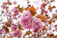 Close up of cherry blossoms in Tokyo, Japan.