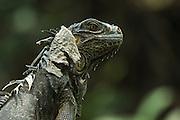 Green Iguana (Iguana iguana)<br /> San Pedro<br /> Ambergris Caye<br /> Belize<br /> Central America