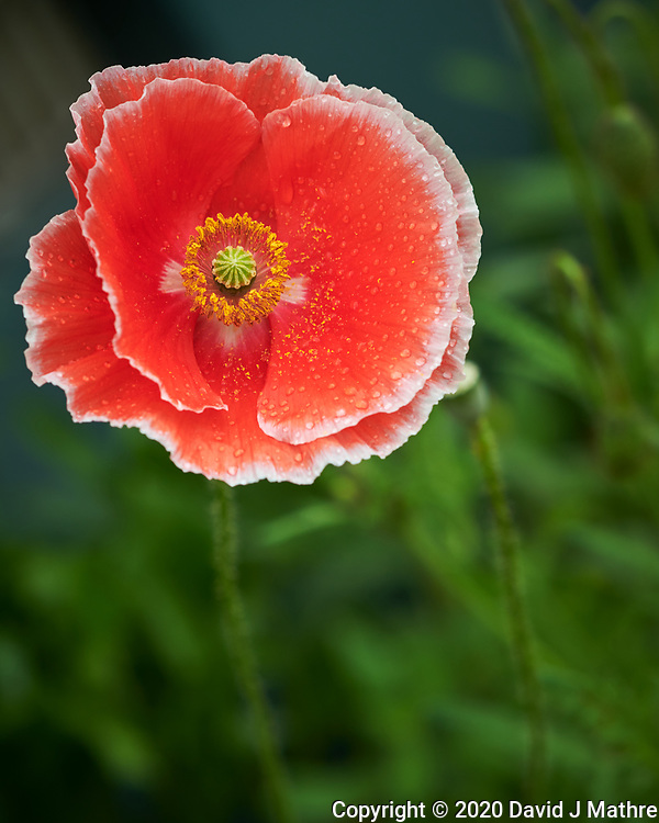 Pink and White Poppy after the rain. Image taken with a Nikon D850 camera and 60 mm f/2.8 macro lens.