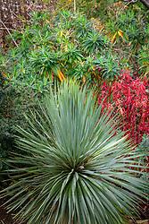 Yucca rostrata with Euphorbia griffithii 'Dixter' AGM, Euphorbia rigida AGM,  Euphorbia x pasteurii Browns' Strain and Berberis darwinii 'Compacta'