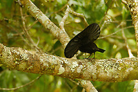 Superb Bird of Paradise (Lophorina superba).Adult male at a display branch, displaying with cape raised, trying to lure down female... while facing away from the camera