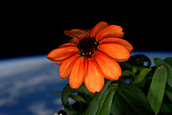 January 17, 2016 - Earth Atmosphere - Close-up view of Zinnia grown as part of Veggie experiment floating in front of the Cupola window. Astronaut Scott Kelly posted this photo on Twitter with the caption, SpaceFlower out in the sun for the first time! YearInSpace (Credit Image: ? Scott Kelly/NASA via ZUMA Wire/ZUMAPRESS.com)