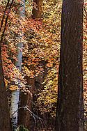 Autumn color in the forest on the Mogollon rim,Arizona