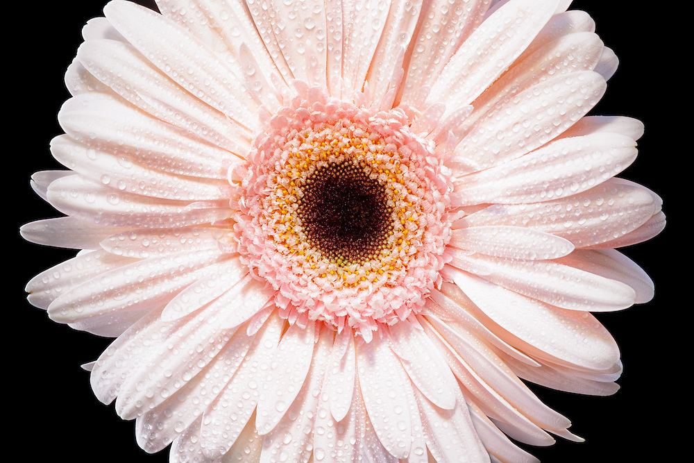 A Gerber daisy with water drops on a black background.