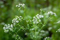 Cow Parsley. Anthriscus sylvestris