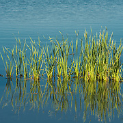 Cattails and grasses in shallow waters of Lake Quannapowitt, Wakefield, MA