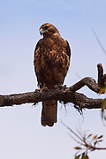 The endemic ( Galapagos hawkButeo galapagoensis). Isabela Island, Galapagos Archipelago - Ecuador.