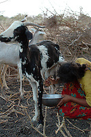 Niger, Agadez, Tidene, 2007. Goat milk is an essential part of the Tuareg nomad's diet. The children are responsible for the morning's chores.
