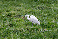 A Great Egret (Ardea alba) eating earthworms in a field in Aldergrove, British Columbia, Canada.  Great Egrets are not normally found in this part of British Columbia.