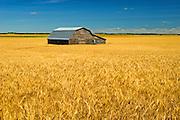 Barn and wheat<br /> Holland<br /> Manitoba<br /> Canada