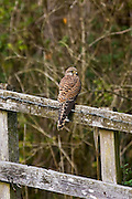 Kestrel perched on a fence, Cotswolds, Oxfordshire, England