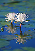 Fragrant Water Lily & Reflection, Grand Bay NWR, Mississippi.