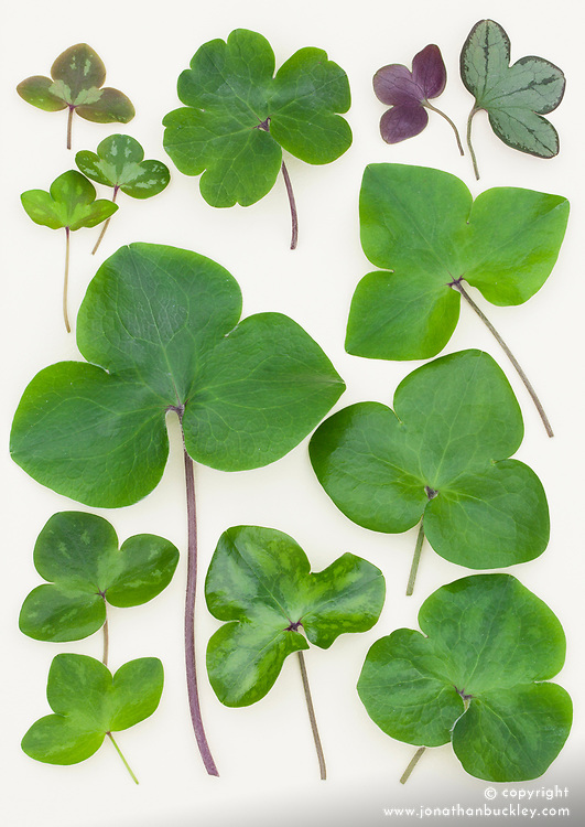 Hepatica leaves from Korea laid out on a white background.