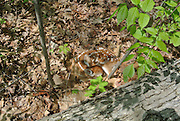 A new born fawn hides in the leaves in teh spring waiting for it's mother to return to feed it.  This fawn is less than 24  hours old and was photographed on May 22 in New York State.  White-tailed Deer (Odocoilieus virginianus) fawn in camouflage among fall leaves.