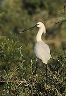 European Spoonbill stork, Platalea alba,  Lake Kerkini, Macedonia, Greece