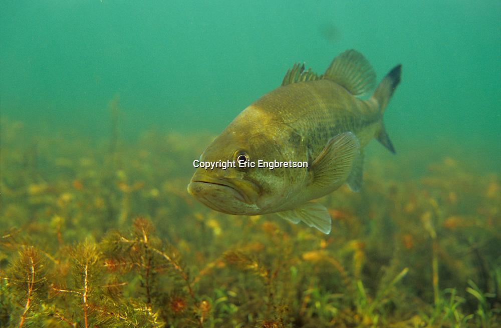 Largemouth Bass<br /> <br /> ENGBRETSON UNDERWATER PHOTO