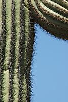 Saguaro, Carnegiea gigantea. Organ Pipe Cactus National Monument, Arizona.