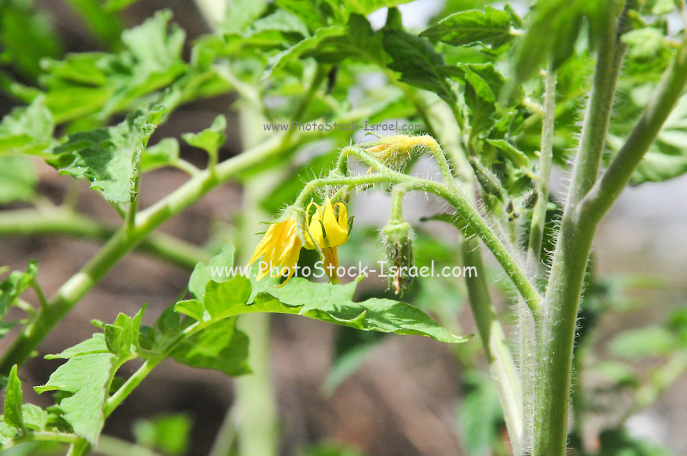 tomato plant with yellow flowers grows in a garden