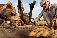 A camel trader feeding his camels at the Pushkar Camel Fair, Rajasthan, India
