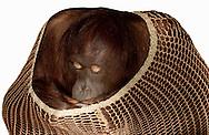 Deutschland, DEU, Krefeld, 2004: Projekt ueber die biologischen Wurzeln der Mode. Die Shootings hierfuer wurden mit Grossen Menschenaffen, die dem Menschen am naechsten sind, im Krefelder Zoo gemacht. Die Tiere waren weder zahm noch trainiert. Die Kleidungsstuecke wurden in die Gehege geworfen und was immer die Tiere damit anstellten, taten sie aus sich selbst heraus. Ein Eingreifen oder gar eine Regie war unmoeglich. Da das Verhalten der Affen im Mittelpunkt stand, wurden die Hintergruende von den Originalfotografien entfernt. Orang-Utan-Weibchen Sita mit einem Netzkleid von Sand. | Germany, DEU, Krefeld, 2004: Project to look at the basics and roots of fashion. The shootings took place in the Zoo Krefeld with three species of Great Apes who are the nearest to us. The animals were neither tamed nor trained. Whatever the animals did, they did on their own. Any intervention or directing was impossible. To set the focus on the behaviour of the animals itself we removed the background from the original photographs. Orang Utan (Pongo pygmaeus) female Sita with net-dress from Sand. |