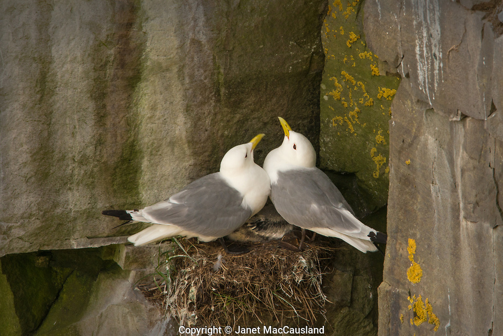 A Kittiwake breeding pair are holding their chick to the vertical cliff Wall on which they made a nest.
