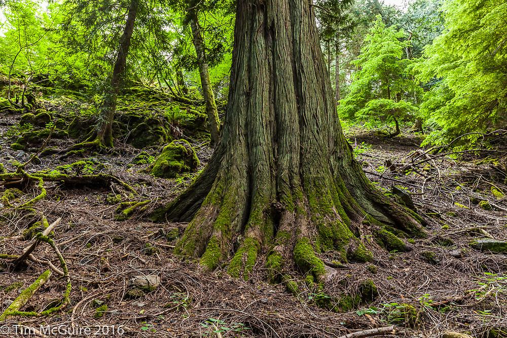 Old Cedar tree in Moran State Park, Orcas Island, Washington.