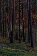 On sides of wooded dunes the setting sun colours scots pines (Pinus sylvestris) red, Kemeri National Park (Ķemeru Nacionālais parks), Latvia Ⓒ Davis Ulands   davisulands.com