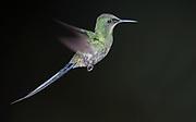 Green Thorntail (Discosura conversii) from Mindo, Ecuador.