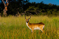 Red lechwe, near Kwara Camp, Okavango Delta, Botswana.
